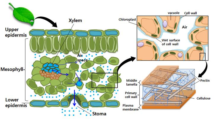 """an analysis of transpiration stream A recent multi-site analysis of the isotopic compositions of precipitation, soil water , plant xylem water, groundwater, and stream water suggested the widespread ecohydrological separation of groundwater (not used by plants) and soil water ( always used by plants) the """"two water worlds hypothesis"""" was."""